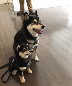 Many people first became familiar with the Shiba Inu from that 'Doge' meme that was everywhere for a while (very Shiba, much soft. Wow), but these lovable, memes gif memes memes animal memes child memes gif memes memes Pet Dogs, Dog Cat, Pets, Doggies, Chien Akita Inu, Cute Baby Animals, Funny Animals, Cute Puppies, Dogs And Puppies