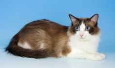 Everything you want to know about Ragdolls including grooming, health problems, history, adoption, finding a good breeder and more.