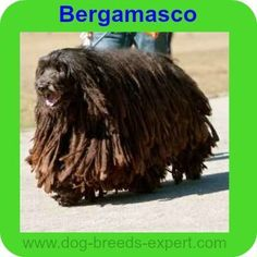 Here are 20 calm dog breeds that will be perfect for someone looking for an even tempered, mellow, easy going dog. Calm Dog Breeds, Animal Kingdom, Lion Sculpture, Puppies, Dogs, Animals, Cubs, Animales, Animaux