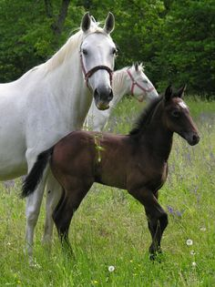 Lipizzaner mare and colt. - from Lipizzan International Federation