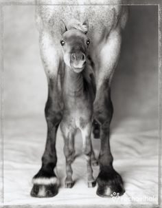 Jumbo and Nippa (Clydesdale and Miniature Horse) - Nippa loves to shelter under caring Jumbo.  (pic by Rachael Hale)