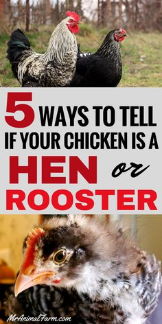How to sex a chicken. You went to chick days at your local farm store and now you aren't sure how to sex a chicken. Which one is a hen? Which one is a rooster? Here are 5 super easy ways to tell the difference and sex a chicken. Portable Chicken Coop, Backyard Chicken Coops, Diy Chicken Coop, My Pet Chicken, Small Chicken Coops, Chicken Coup, Chicken Feeders, Chicken Garden, Chicken Treats