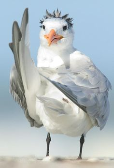 Royal Tern by:Scott Hafner