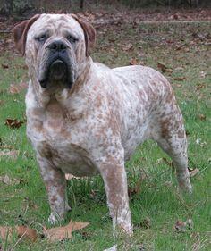 Bulldog inglês ~ this guy is Massive!