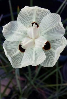 African-iris / Japanese-iris / Butterfly-iris: Dietes sp. [Family: Iridaceae]