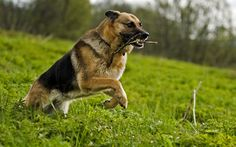 real german shepherds | German Shepherd Dog HD Wallpapers 2013