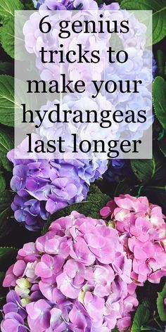 6 genius tricks to make your hydrangea last much longer Hydrangeas are famous for being beautiful, but also fickle. Use these tricks to achieve results you'll be proud to show off in your garden and floral arrangements. Hortensia Hydrangea, Hydrangea Colors, Hydrangea Care, Hydrangea Flower, Pruning Hydrangeas, Hydrangea Landscaping, Garden Landscaping, Caring For Hydrangeas, How To Grow Hydrangeas