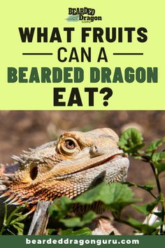 Knowing what fruits bearded dragons can eat is important to ensuring your beardie has the best diet possible. It is possible to have too much of a good thing! Make sure you aren't feeding your bearded dragon too much of the wrong fruits. To find out what the best fruits are for a bearded dragon check out the link #beardeddragonfruit #beardeddragonsfruits #beardeddragondiet Bearded Dragon Heat Lamp, Bearded Dragon Substrate, Bearded Dragon Lighting, Bearded Dragon Food List, Bearded Dragon Habitat, Bearded Dragon Feeding, Bearded Dragon Supplies, Lizard Habitat, Cute Reptiles