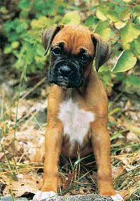 Boxers....... Cutest dogs alive!