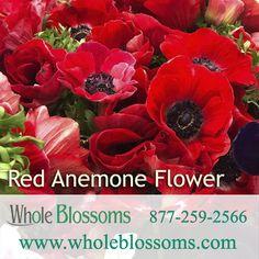 Red Anemone, Anemone Flower, Anemone Wedding, Wedding Flowers, Star Of Bethlehem, Flowers Delivered, Christmas Flowers, Manzanita, Gladiolus