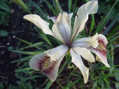 Iris 'Broadleigh Peacock' by Avondale Nursery, via Flickr
