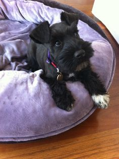 Koda :)  #Mini #Schnauzer #Puppy love the one white paw!