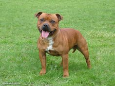 Breed Profile - Staffordshire Bull Terrier - PetParent