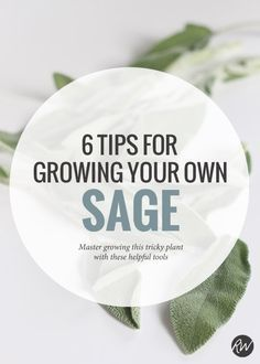 Growing sage can be tricky, but you can master yourgreen thumb with these six tips | Rogue Wood Supply