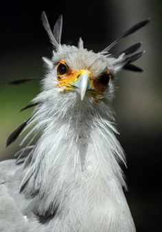 A secretary bird is pictured in his enclosure at the Tierpark Friedrichsfelde zoo in Berlin Animal pictures of the week: 18 June 2010 - Telegraph