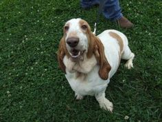 Sweetie - courtesy post is an adoptable Basset Hound Dog in Washington, NJ. Sweetie loves people, doesn't seem to mind other dogs, never met a treat she didn't like, and happily flops over for a belly...
