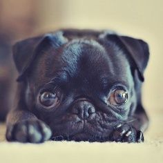 #Adorable #puppy ! #pug.  Pugs have the best little faces. jt