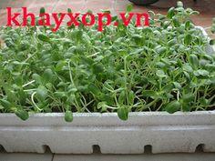 Khay xốp trồng rau
