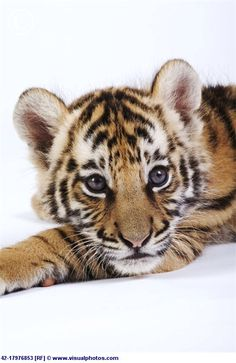 Cute tiger cub licking its nose cute pinterest tiger cub cute tiger cub thecheapjerseys Image collections