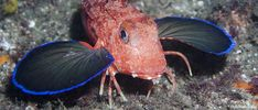 WEIRD REAL ANIMALS - - PINK SEA ROBIN (Poon)