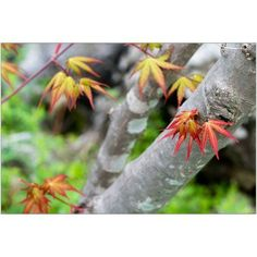 New Maple Leaves on Branches Photography by Eazl, Size: 24 x 16, Yellow