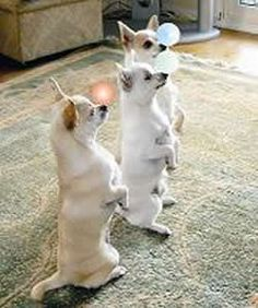 Chihuahua meerkats....so funny! My Sassy does this , especially when she is ready for bed!