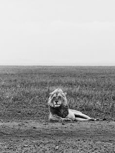 love how the lions nuanced expression is enhanced by the stark landscape...visual poetry here.   photo by Andre Carrara