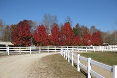 Vibrant red trees Red Tree, Horse Farms, Kentucky, Country Roads, Trees, Vibrant, Outdoor, Outdoors, Tree Structure