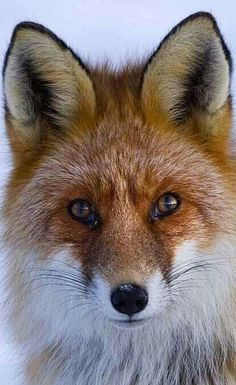 Foxes are such beautiful animals