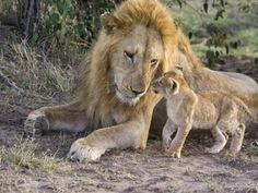 African Lion (Panthera Leo) Cub Approaches Adult Male, Vulnerable, Masai Mara Nat'l Reserve, Kenya