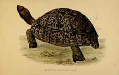 Tortoises, Terrapins, and Turtles, Drawn from Life ~ c1872
