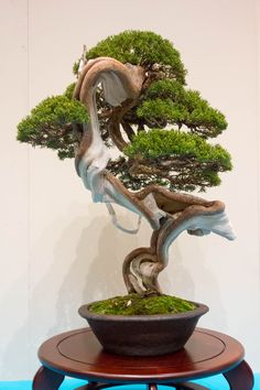 Chinese juniper ~ Just look at the trunk of this tree!  Isn't the color something? The way it twists and turns makes the colors so beautiful.