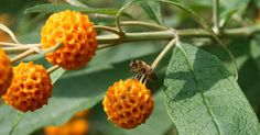 Buddleja x weyeriana (Sent in Pot) Outdoor Plants, Outdoor Gardens, Fruit, Flowers, Amazon, Hot, Gardens, Oral Hygiene, Go Green