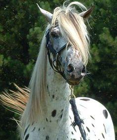 Encore AA - Spanish Jennet, Tiger Horse, Walkaloosa Stallion
