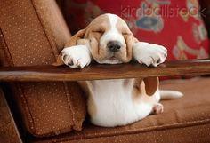 Basset Hound Puppy Sleeping
