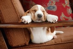 Basset Hound Puppy Sleeping