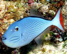Sargassum Triggerfish or Red-tailed Triggerfish(Xanthichthys ringens)