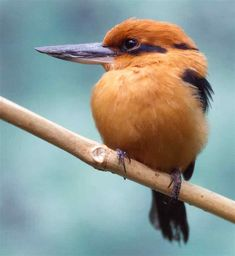 Guam Kingfisher The Bronx Zoo is one of a number of U.S. zoos participating in the captive breeding program for the – extinct in the wild – T. cinnamominus, Guam Kingfisher