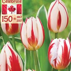 canadian-celebration-tulip