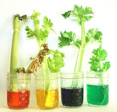The Celery Experiment - Is artificial coloring good for us??