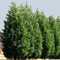 Leyland Cypress Fast-Growing, Hardy Privacy Screen The Leyland Cypress is a coniferous tree prized for its fast-growing and hardy nature. Why waste money and maintenance time on a privacy fence when you can use the Leyland Cypress as a carefree, living one? The Leyland would also do well short-term as a container plant on your patio or as a live Christmas tree.