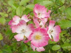 rose buff ballerina - Google Search