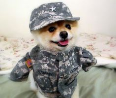 """Sammy recently filled out an application to join the Army. He just received a letter back saying, at this time the Army is not looking for a 10 pound Pomeranian, but they will keep his name handy. However, they did give him an Army uniform as an appreciation for his courage. We would like to give Enrique Dextre a big Shout Out and """" WE WANT TO THANK ALL OF YOU IN UNIFORM; GOD BLESS OUR TROOPS. """" Love, Sammy."""