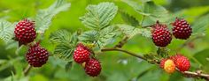 Salmonberry fruit color