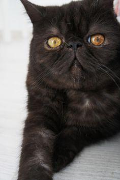 #cat #cats #holyshitcat #shorthair #exotic shorthair