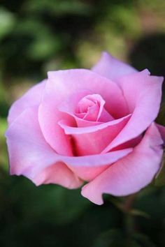 Living on a Pink Rose — angelesdeluna: Roses
