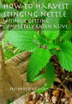How to harvest stinging nettle without getting completely eaten alive