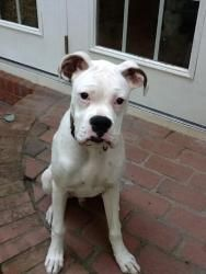 Bruce Almighty is an adoptable Boxer Dog in Monroe, NC. BRUCE ALMIGHTY (you'll have to ask the foster mom about his name) is a white Boxer that appeared in a neighborhood recently. He was in sad condi...