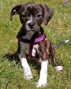 Beagle / Boston Terrier Mix