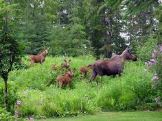 Four calves - that is impressive mother moose . Moose Pics, Moose Pictures, Animal Pictures, Moose Art, Animals And Pets, Baby Animals, Cute Animals, Beautiful Creatures, Animals Beautiful